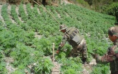 Incautan 50 toneladas de plantaciones de marihuana en La Libertad